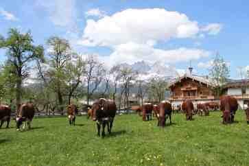 Bauernhof mit Pinzgauer Kühe