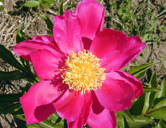 Types of Peony Flowers This describes the wild type or species flower also  Imperial Red is an  example of a single peony