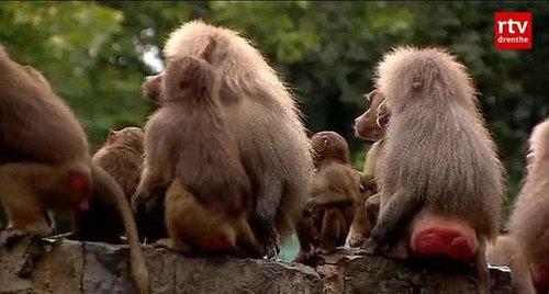 荷蘭公園112只狒狒集體靜坐絕食背對游客(圖)
