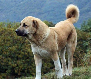 Armenian Gampr, shepherd dog