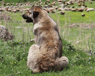 Armenian Gampr, shepherd dog