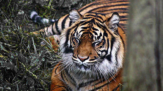 Tigress Avni killed Yavatmal