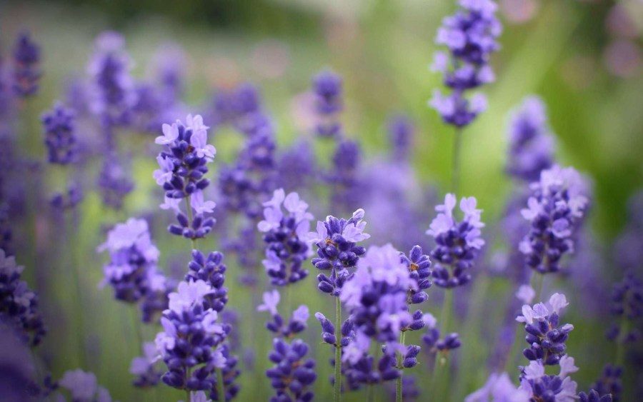 6926513 lavender flowers field   Pepperberry Florist   Gift Shop 6926513 lavender flowers field