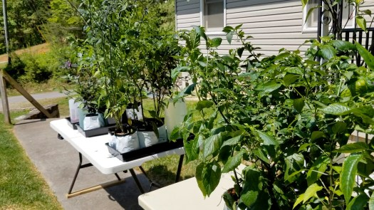 Pepper plants outside