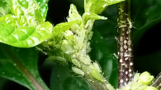 Aphids on plant