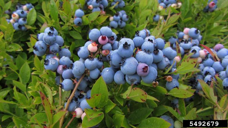 Lowbush_blueberry_bush