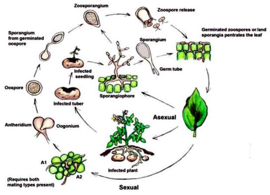 Describe the life cycle of Phytophthora infestans