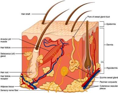 Sebum is secreted by skin sebaceous (oil) glands. The oil helps keep skin pliable and less likely to break or tear and also lowers the pH of the skin to a more acidic level that inhibits the growth of many types of bacteria.