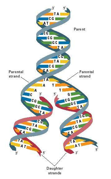 Watson and Cricks Model of DNA