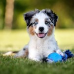 Complete Mini Australian Shepherd Guide 6 Must Read Facts Perfect Dog Breeds