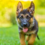 Miniature German Shepherd 11 Pocket Sized Facts You Need To Know Perfect Dog Breeds