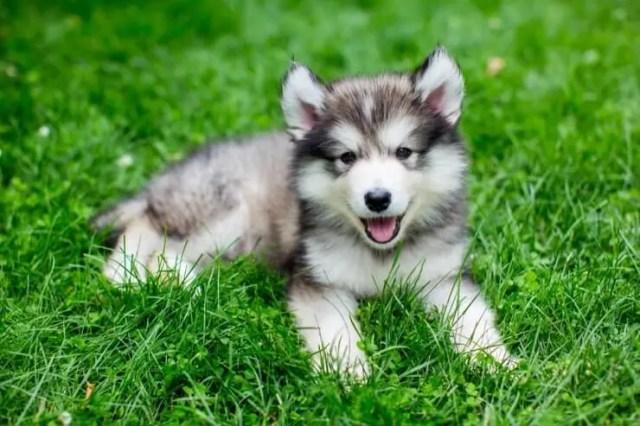Miniature Siberian Husky
