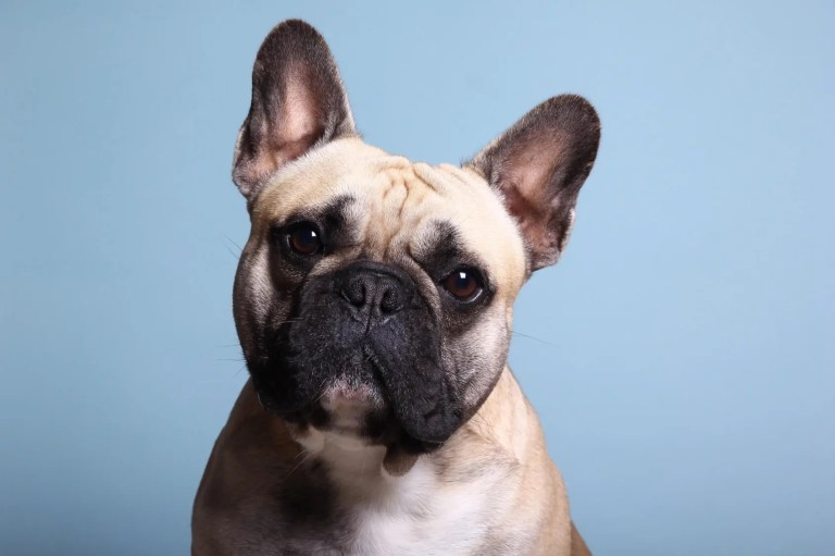 Is a French Bulldog The Perfect Dog For You?