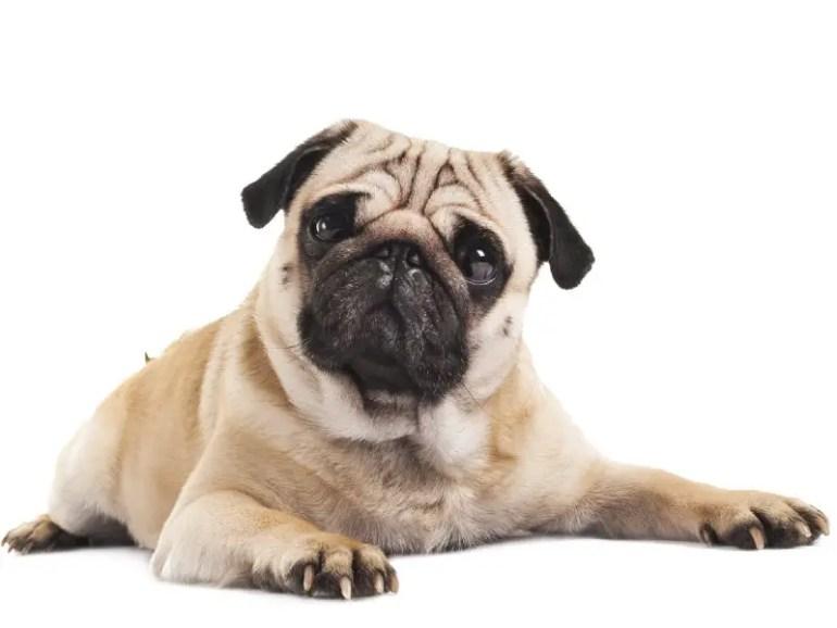 Teacup Pug Guide