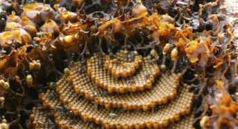 Μέλισσες δημιουργούν κυψέλες με περίτεχνα σχέδια για… άγνωστο λόγο!