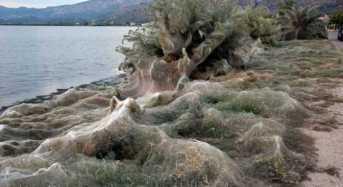Ενα πέπλο από ιστό αράχνης κάλυψε παραλία 300 μέτρων στο Αιτωλικό