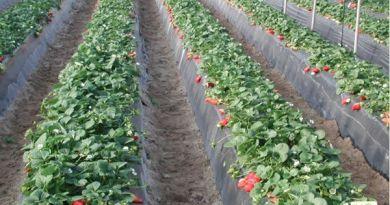 Con Agricultura Sustentable, Tanhuato producirá fresa orgánica