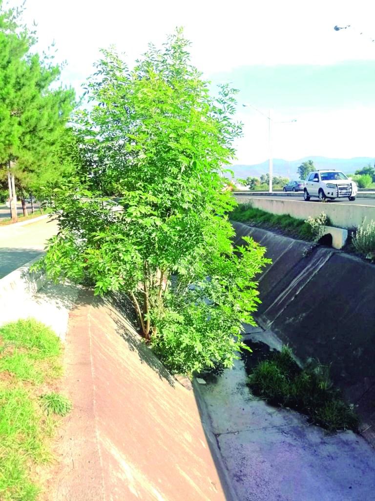 Este árbol que ya tomó buen tamaño y que nació dentro del dren San Basilio, por una fisura del concreto, deberá de ser removido antes que dañe las losas de concreto.