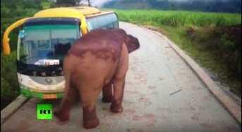 Ελέφαντας επιτίθεται σε δύο οχήματα – Δείτε το βίντεο