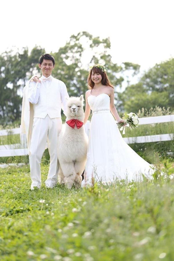 600x900xwedding-alpacas6-600x900_jpg_pagespeed_ic_awPOR7GfyQ