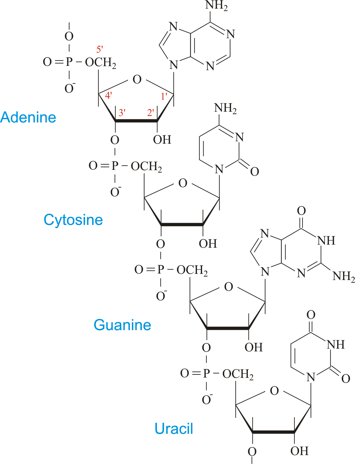 Structure Of R Rna
