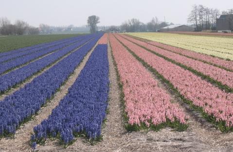 Hyacinths in NL