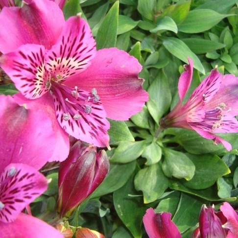 Alstroemeria (vaste plant)