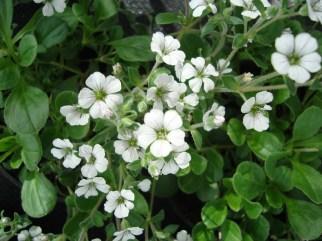 (vaste plant)