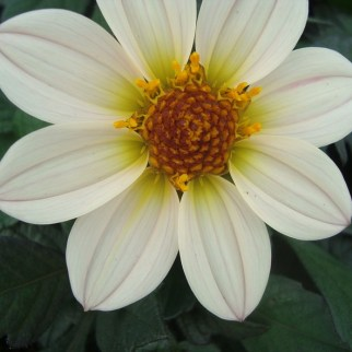 Dalia (vaste plant)