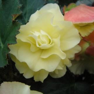 Dubbelbloemig en geurende Begonia