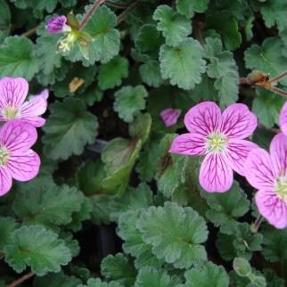 Erodium (vaste plant)