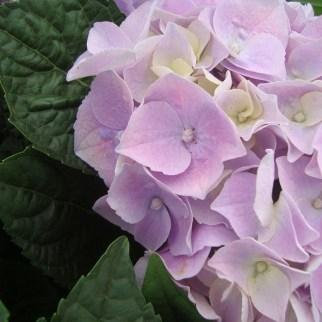 Hortensia (vaste plant)