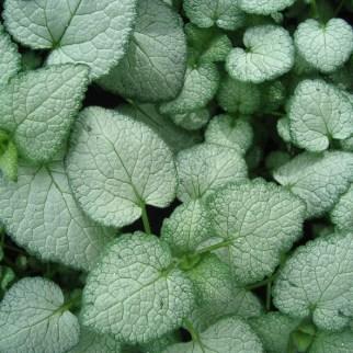 Lamium (vaste plant)
