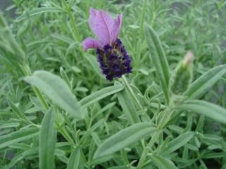 Lavendel (vaste plant)