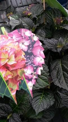 Black Diamond Hortensia