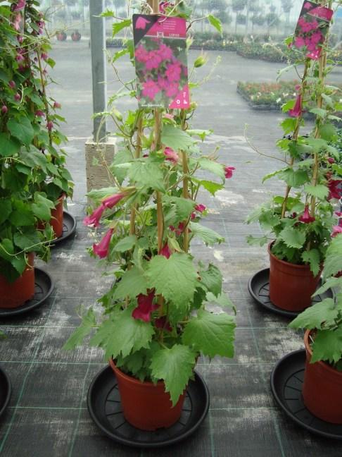 Al een aantal jaren als los plantje bij ons verkrijgbaar, maar nu ook op stam.