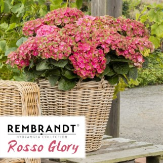 Rembrandt Rosso Glory
