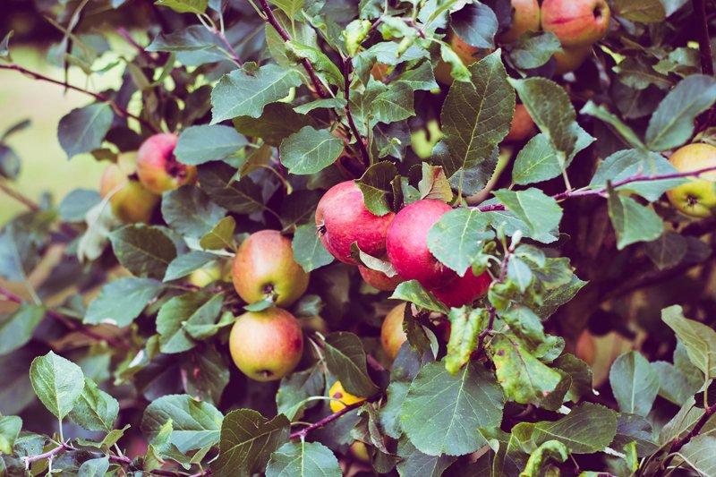 Piantare alberi da frutto, Parte 1 - Quale frutta?