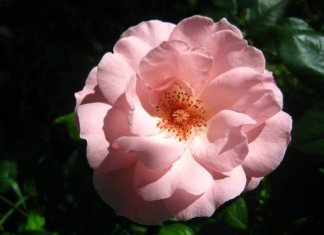 rosa fiore commestibile