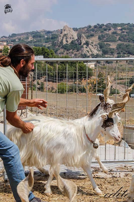 mario lopresti capre girgentane