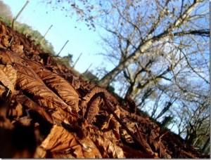 Mulch naturel produit à partir de feuilles mortes