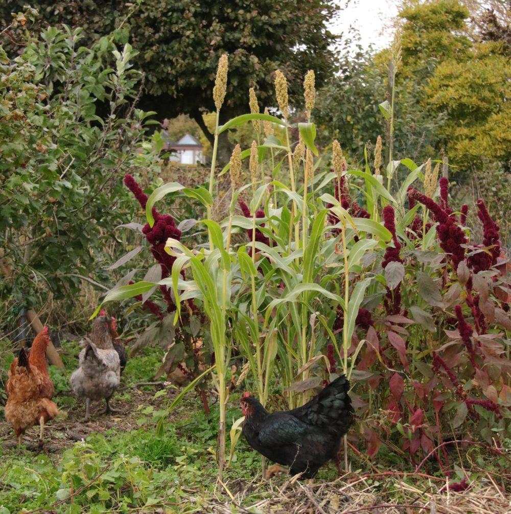 Tout savoir sur le poulailler au jardin permaculturel