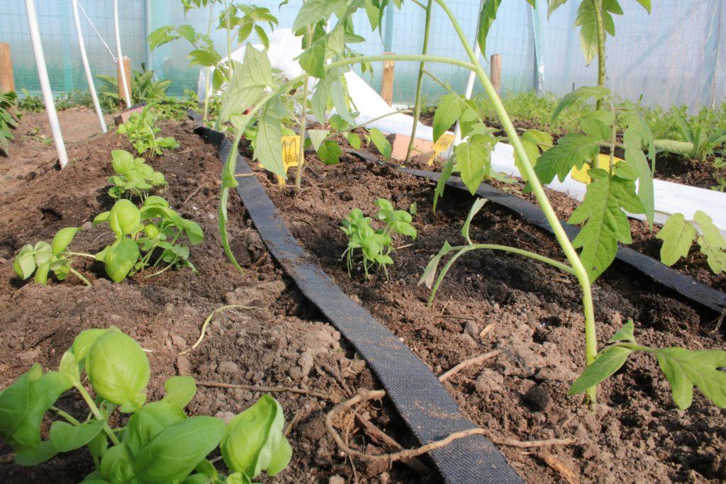 Irrigation des tomates
