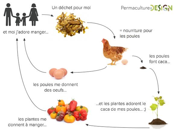 La poule dans un design de permaculture