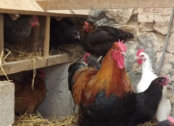 Winter housing for hens