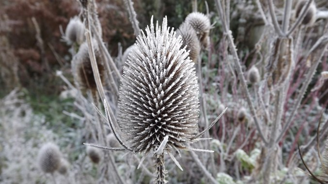 Frost auf eryngium