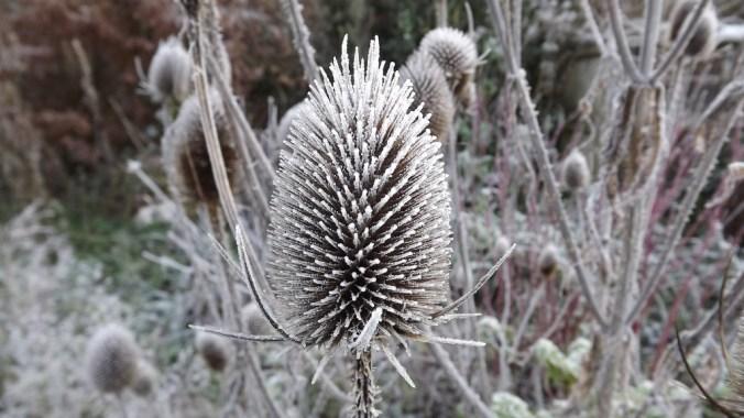 Frost ar Eryngium