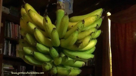 bananas-ripening-indoors ripening in the living room which is heated by wood-fuel stove
