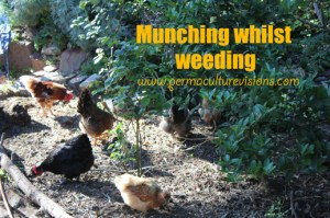 chickens-weeding