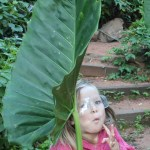Rose and the big leaf